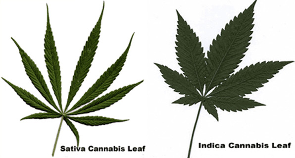what is cannabis